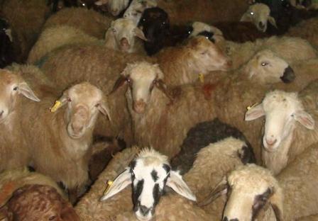 کشف ۳۰ رأس گوسفند قاچاق درکازورن