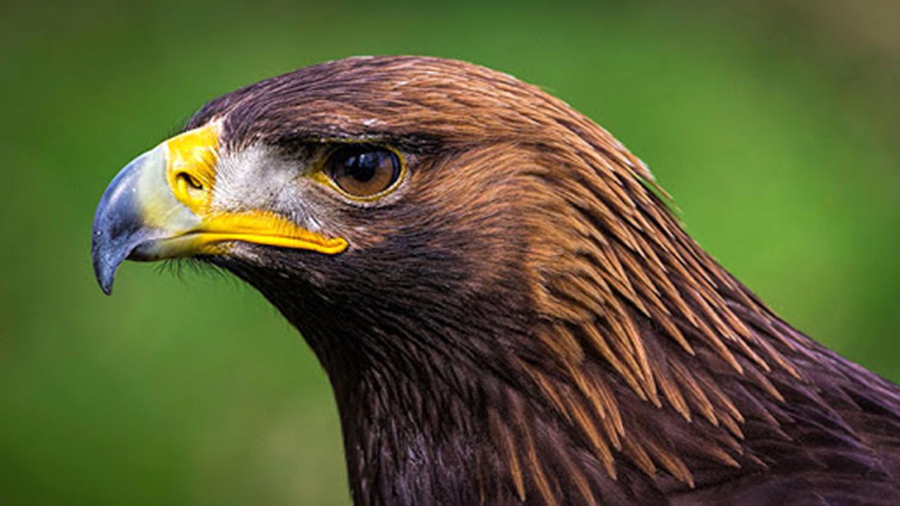 پرواز عقاب طلایی در آسمان بهرام گور